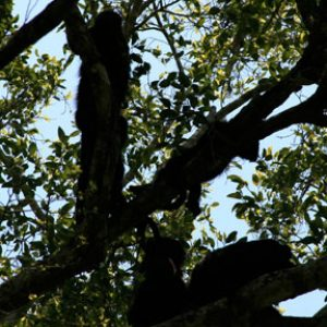 Howler monkeys on the Yucatan Peninsula