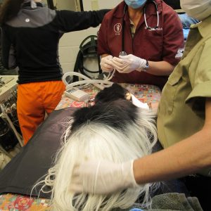 Prepping the colobus for his dental treatment.