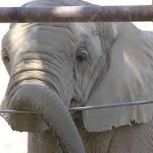 At elephant at PAWS